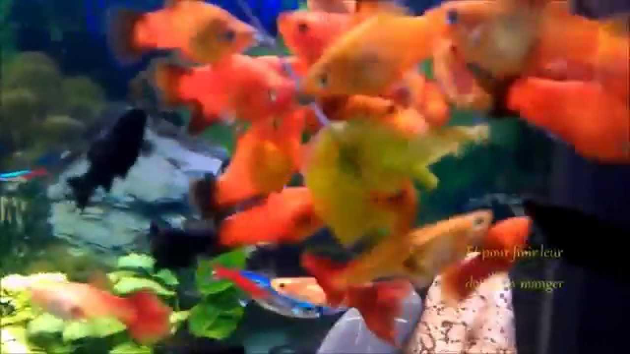Comment donner manger des l gumes ses poissons youtube for A donner poisson