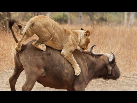 Lions VS buffles - ZAPPING SAUVAGE