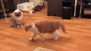pug playing like a cat 猫っぽいパグゾー(犬)