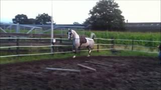 Dutch harness horse Tuigpaard
