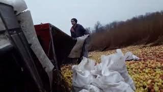 Под Степногорском перевернулась фура с яблоками