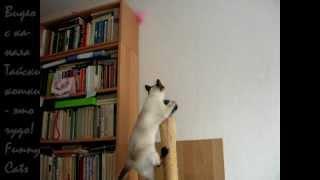 Как долго можно побуждать котика к действию! Улётное видео! Тайские кошки - это чудо! Funny Cats