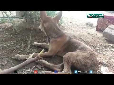 تقرير : داء سعار الكلب خطر يحدق بسكان تهامة (19-7-2019)