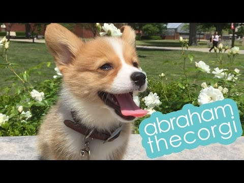 @abrahamthecorgi | corgi puppy 2 weeks - 3 months timeline