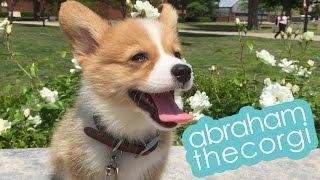@abrahamthecorgi | corgi puppy 2 weeks  3 months timeline