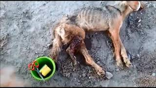 Помощь истощенной собачке, у которой загнила нога