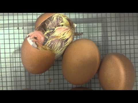 Baby chick hatching from egg at Edgewater Preschool
