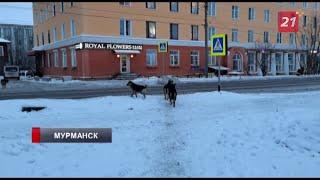 Видео ТВ 21 с умными собаками пешеходами набирает популярность в Сети