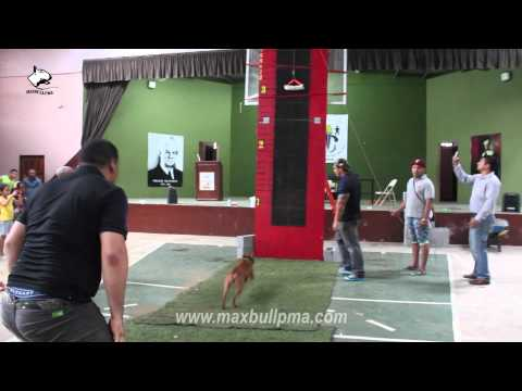 Pitbull Dog jumping competition ¨Escalada Vertical PITBULL DOG¨
