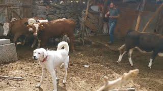 Köylerden hayvan almaya geldik Adamcı akbaş köpegi karşıladı
