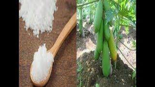 Video Manfaat Pupuk Garam Untuk Tanaman Pepaya Dan Cara Pemberian download MP3, 3GP, MP4, WEBM, AVI, FLV November 2018