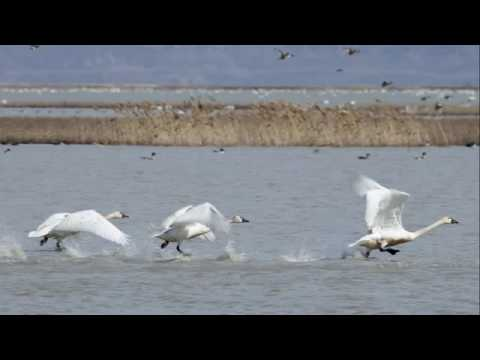 Thousands of Swans Pass Through Northern Utah