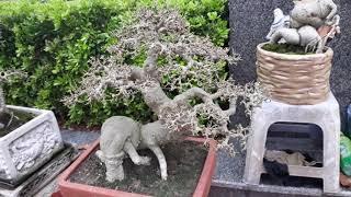 Gambar cover Tham khảo giá Những cây Bonsai đẹp nhất tại khu Thương Mại