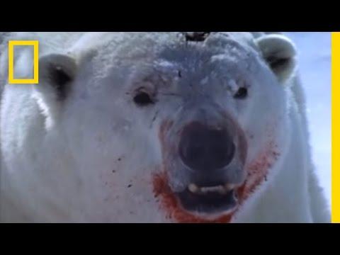 Polar Bear vs. Ring Seal | National Geographic