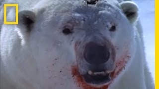 Polar Bear vs. Ring Seal | National Geographic