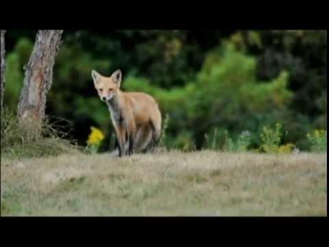 Red Fox Alarm Call   Sept 12 2015
