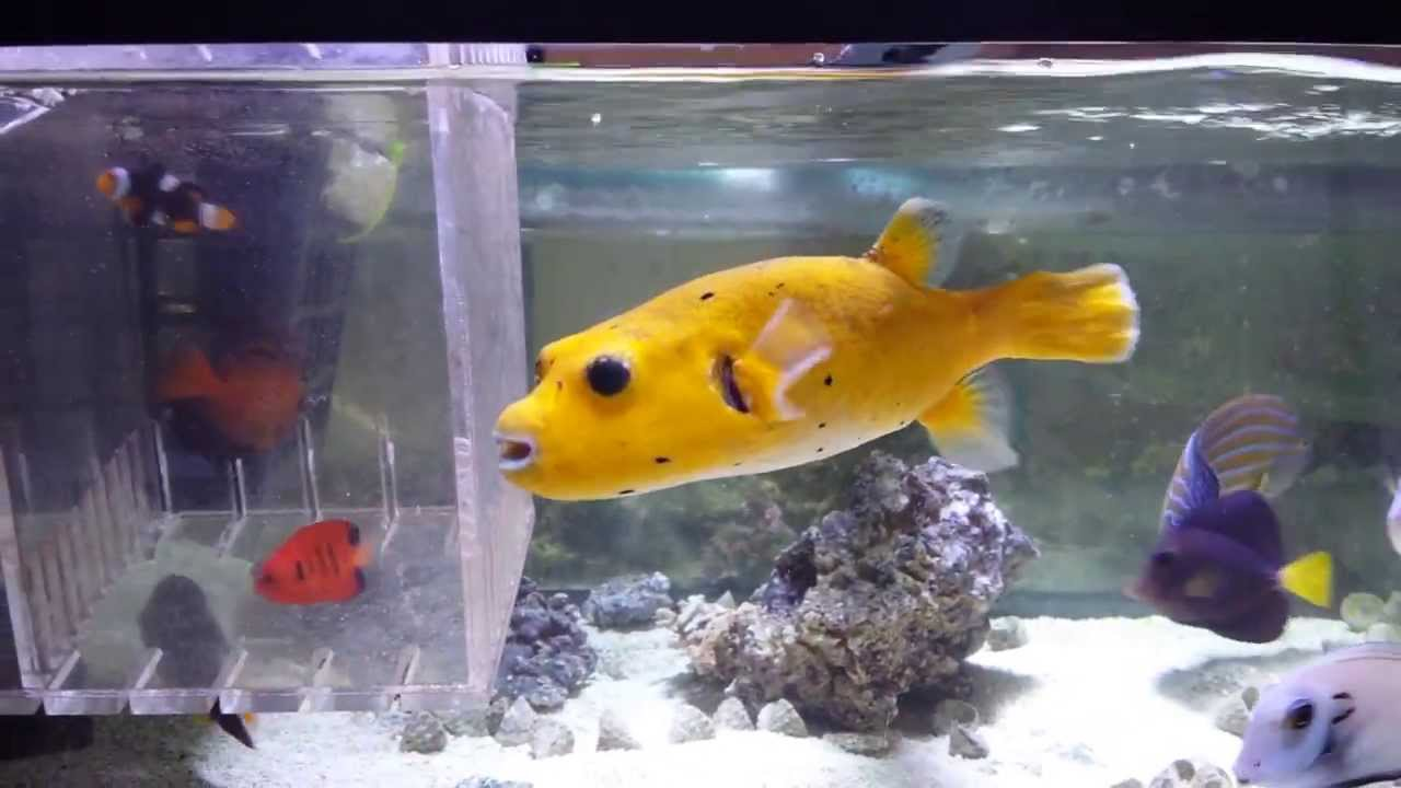 Golden puffer 325 hawaii youtube for Puffer fish for sale