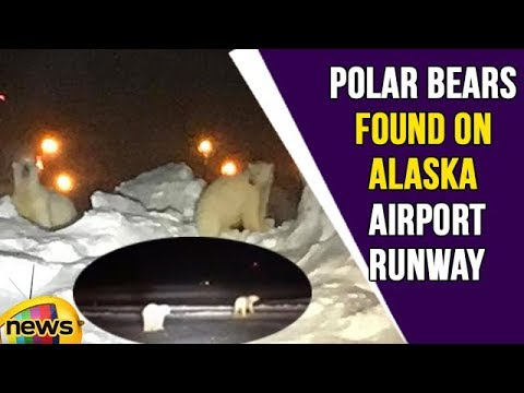 Polar Bears Found on Alaska Airport Runway | Mango News