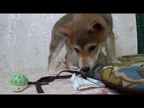 PuppyFinder.com : Smile the Shiba Inu puppy