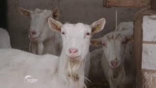 Uzgoj Alpske i Sanske rase koza - U nasem ataru 738