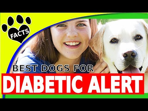 Top Diabetic Assistance Dog Breeds - Service Dogs for People with Diabetes Dogs 101 - Animal Facts