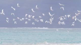 シロアジサシの島/Bird Island