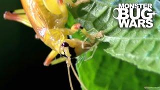 Leaf Tailed Mantis vs Sunburst Raspy Cricket   MONSTER BUG WARS