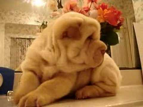 Fantastic Shar Pei Chubby Adorable Dog - hqdefault  Photograph_652972  .jpg