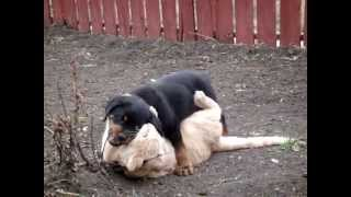 Rottweiler Vs. Cat