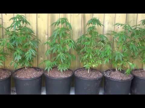 OUTDOOR CANNABIS PLANTS ON A PATIO! MARIJUANA GROW VLOG!