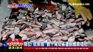【TVBS】殘忍!取魚翅 數十尾幼鯊遭割鰭棄堤防