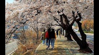 여의도에서 광화문까지 걸어서 보는  봄풍경