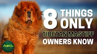 8 Things Only Tibetan Mastiff Dog Owners Understand