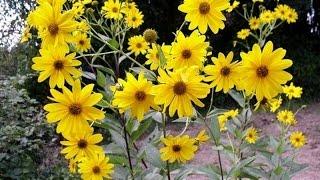 Топинамбур. Полезные свойства, особенности, выращивание. Здоровое питание