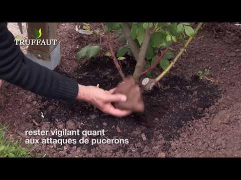 comment entretenir des rosiers en fleurs jardinerie truffaut tv youtube. Black Bedroom Furniture Sets. Home Design Ideas