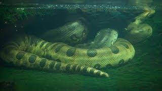 Größte Schlangen der Welt - Auf Kamera Aufgenommen