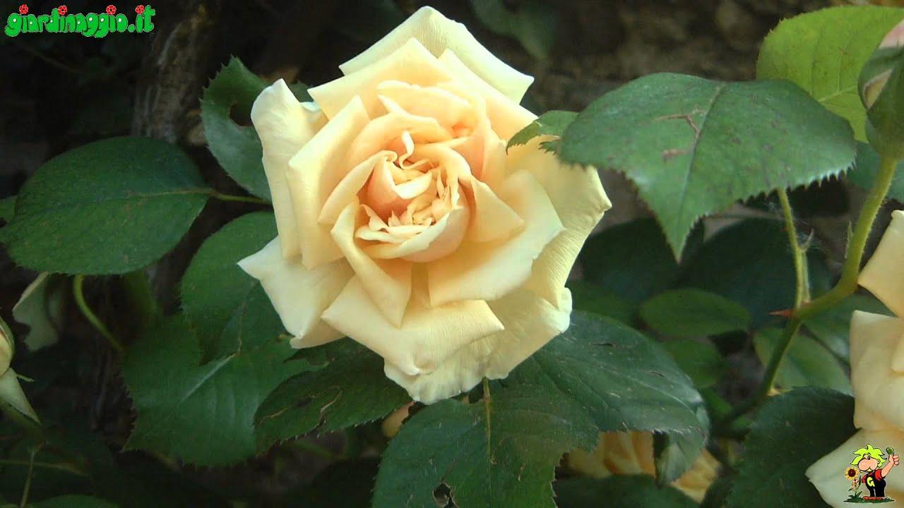 Rose Rampicanti Senza Spine rose antiche - rose