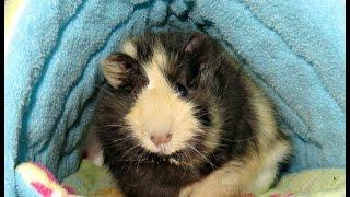 Rum Raisin: One Eyed Baby Guinea Pig