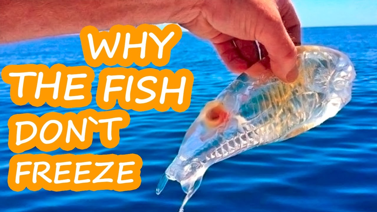 Why the fish don t freeze interesting facts about fish for Interesting facts about fish