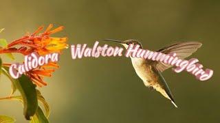 """Calidora Walston """"Hummingbird"""""""