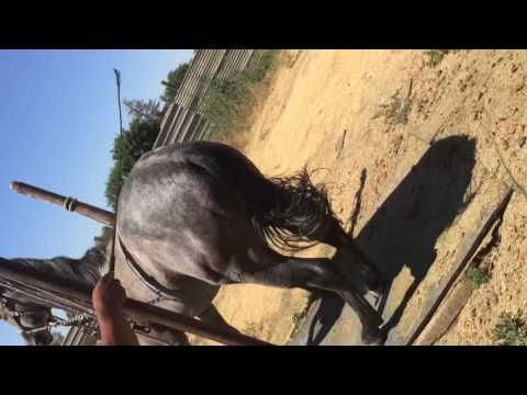 Azteca horse learning how to dance