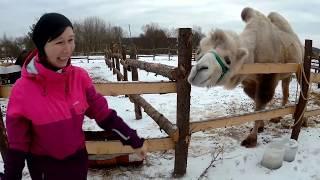 Готовим видео для планеты.ру: НАПАЛ ВЕРБЛЮД!