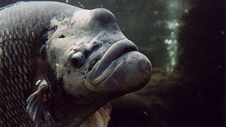 BIG AQUARIUM FISH | MONSTER FISH