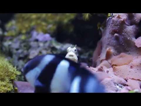 Salarias fasciatus - Бриллиантовый саларий и аравийский губан (Larabicus quadrilineatus)