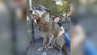 Непредсказуемый Юки - история одного огромного волкособа