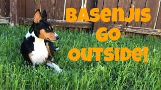 Basenjis Go Outside!