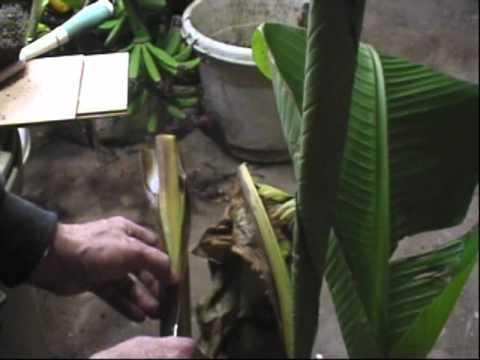 Banana Plant Care