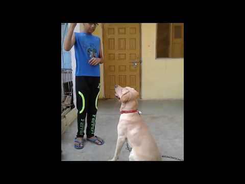 Labrador dog training in hindi with sujal jaiswal