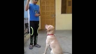 Labrador dog training in hindi with sujal jaiswal