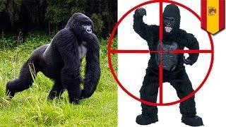 Pria dalam kostum gorilla ditembak bius karena dikira gorilla sungguhan - Tomonews